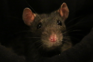 Ratte01